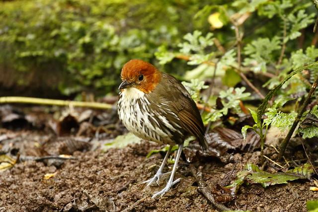 Birds of Ecuador 2016