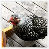 My chicken likes to hang out near me. :chicken::smile: