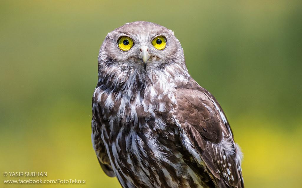 Barking Owl (Stanley) | en wikipedia org/wiki/Barking_owl