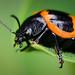 Milkweed Beetle by D-TaiL