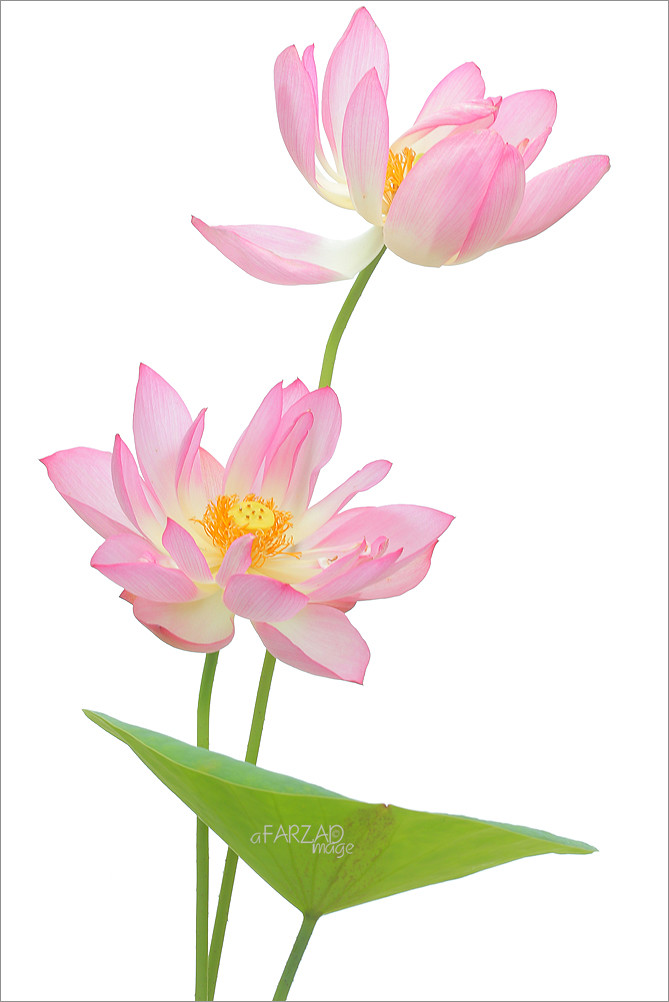 Two Pink Lotus Flowers And The Leaf On White Two Pink Lotu Flickr