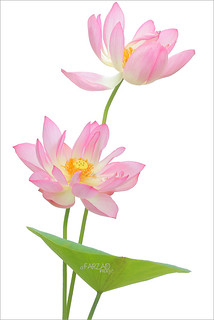 Two Pink Lotus Flowers and the leaf on-white