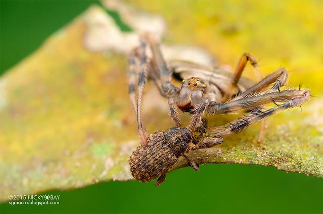 Orb weaver spider (Verrucosa sp.) - DSC_1541