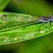 Green-eyed Dancer - Argia frequentulata (Coenagrionidae) 115v-16448