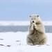 Polar bear cub in Kaktovic Alaska by missymandel