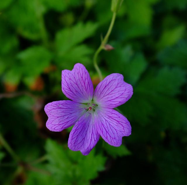 Purple......