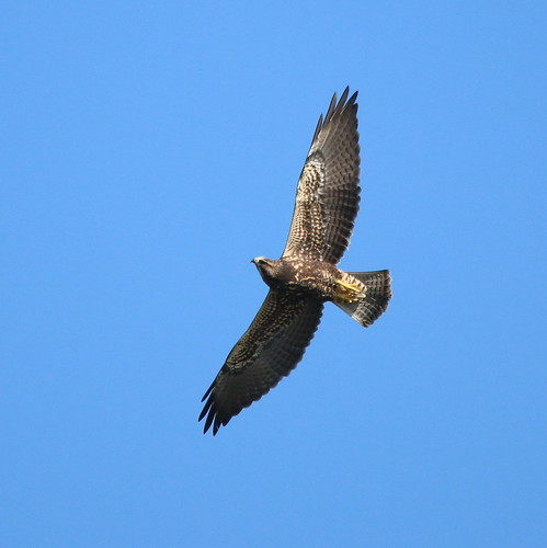 ohio birds aves raptor documentation swainsonshawk rarity ebird darkmoprhjuvenile
