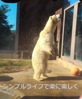 東京1日目、上野動物園ホッキョクグマ