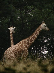 Giraffa camelopardalis reticulata DT [US New York Zoo] (5)