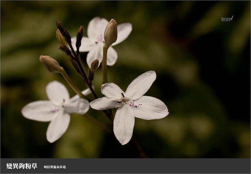變異鉤粉草