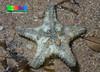 Spiny sea star (Gymnanthenea laevis)