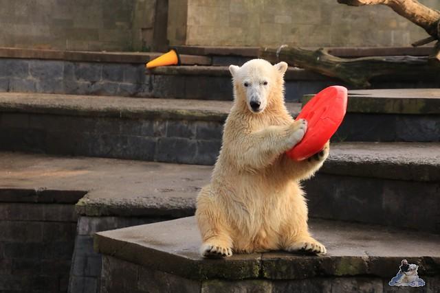 Eisbär Fiete im Zoo Rostock 31.10.2015 Teil 1  018
