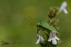 Punaise verte ponctuée (Nezara viridula) sur une inflorescence de sarriette commune (Satureja hortensis) - Condéon( 16) - Photo of Chillac