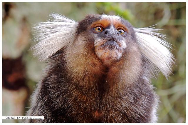 Mono Tití