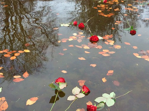 Red remembrance roses commemorate missing persons on National Missing Persons Day 2015