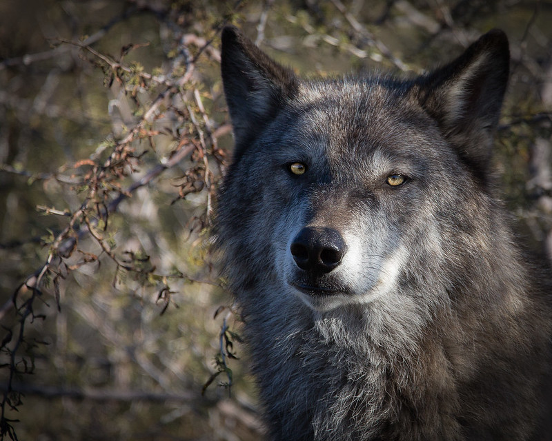 Gray Wolf 1282b