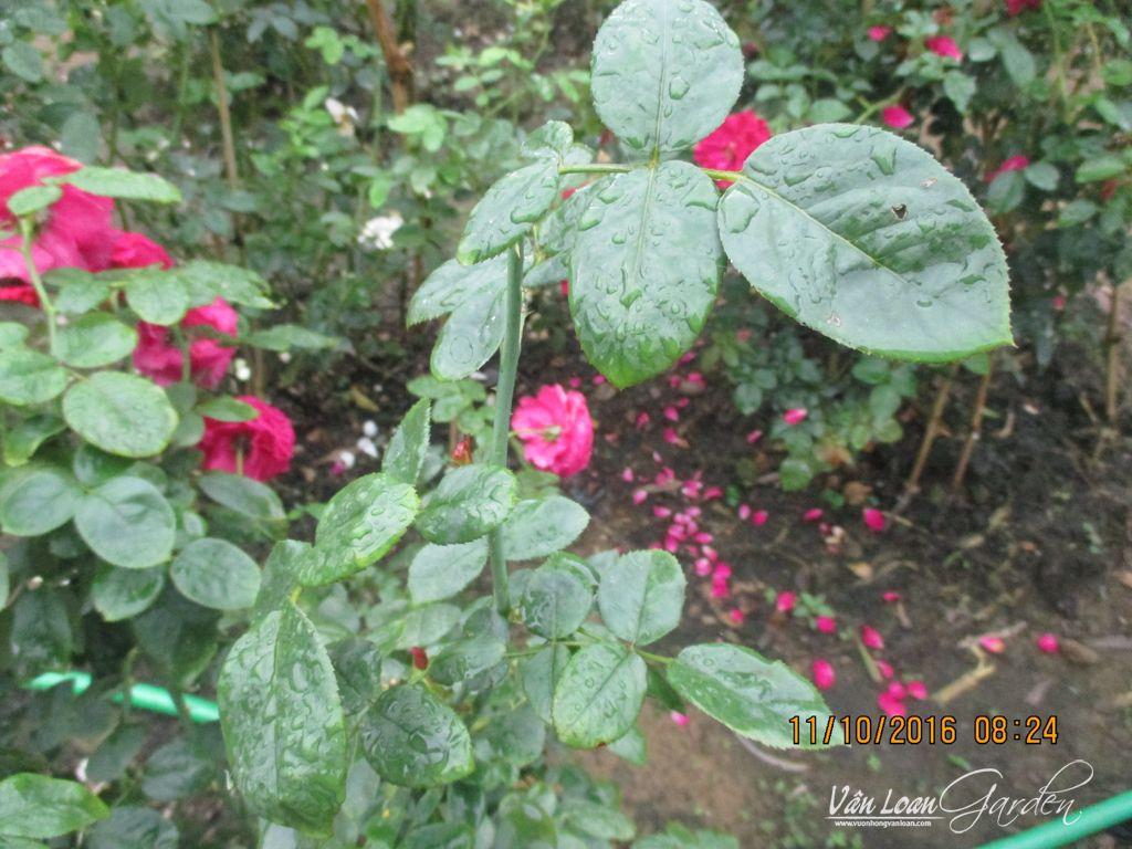 Hoa hong ngoai Rouge Royale Rose (11)-vuonhongvanloan.com