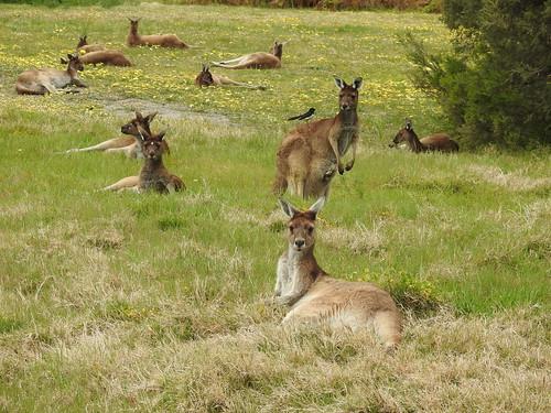 Western Grey kangaroos and friend