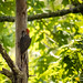 Red Bellied Woodpecker II by Image South Photography