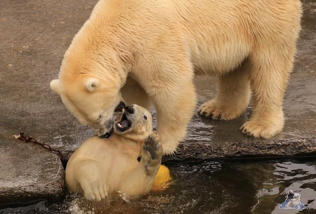 Eisbär Fiete imm Zoo Rostock 15.08.2015 Teil 1  194