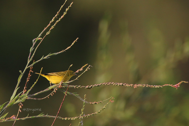 IMG_0714YellowWarbler