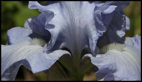 Iris Tide's In (1)