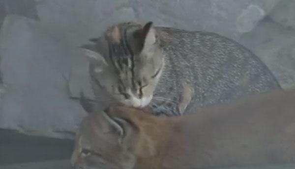 cat-adopts-lynx