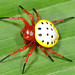 Turtle spider (Encyosaccus sexmaculatus), yellow colour morph by Arthur Anker