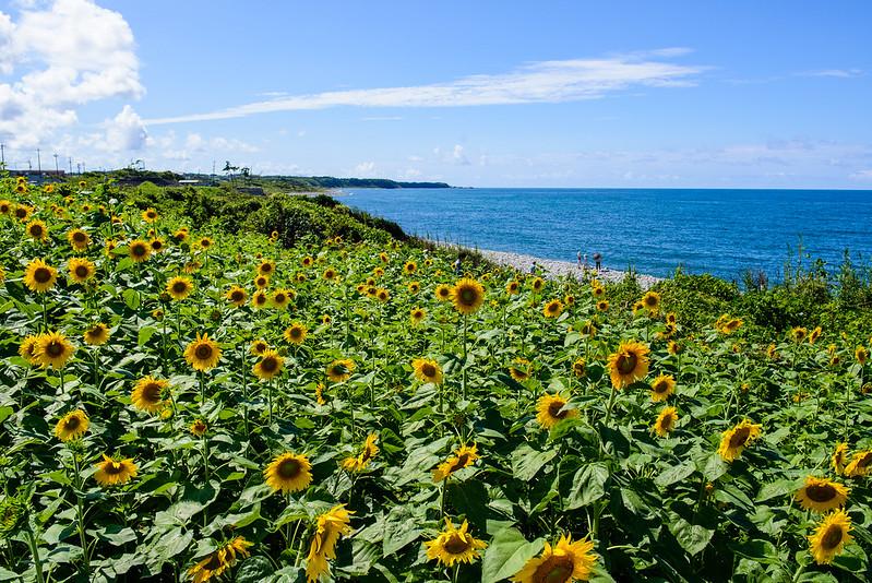 向日葵-鳴り石の浜-12