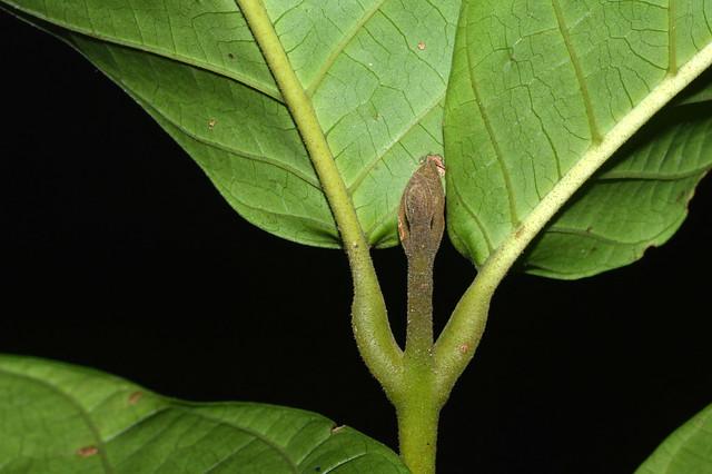 Chisocheton longistipitatus DSC_0622