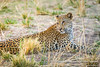Mother and daughter leopard relaxing on the riverbanks of the Luangwa River in the evening sun after eating from their killed Impala, South Luangwa National Park, Zambia by Ulrich Münstermann