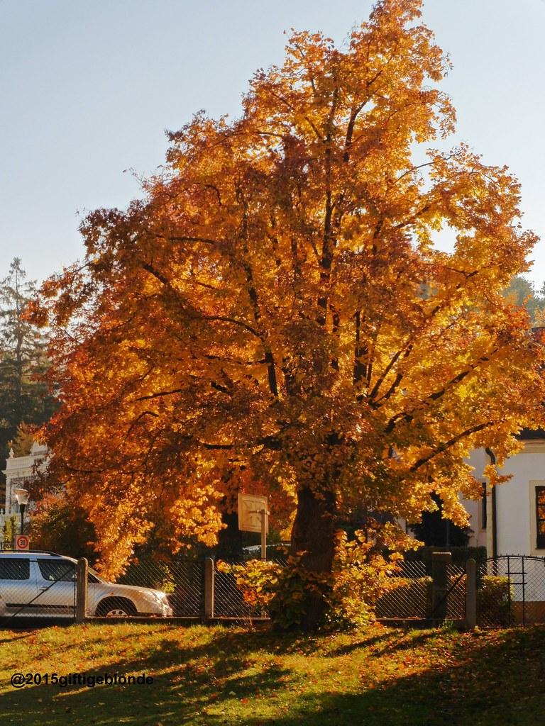 Lindenbaum im Herbst