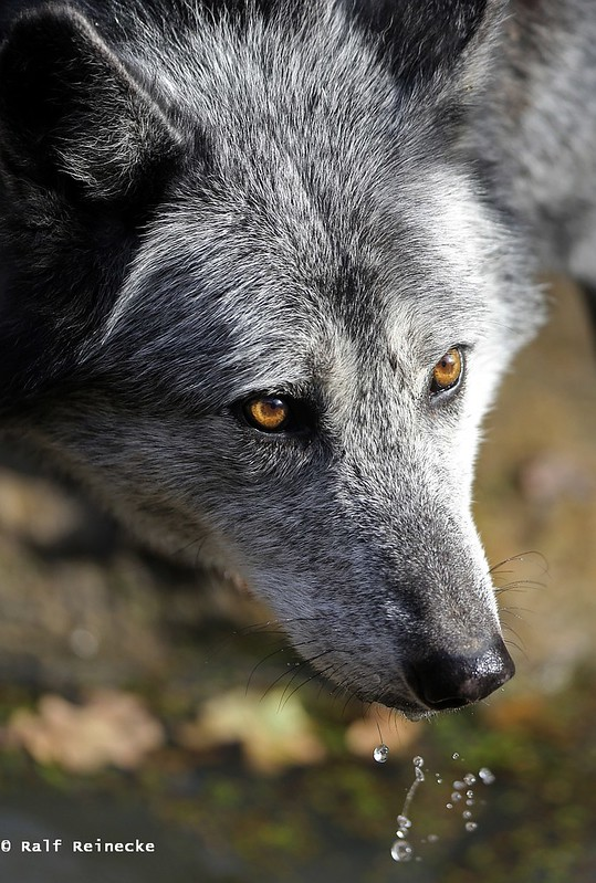 Eastern Wolf -  Parc Animalier de Sainte-Croix October 2015 15