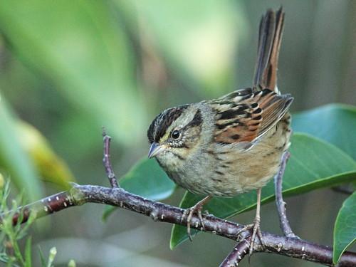 Swamp Sparrow 02-20151123