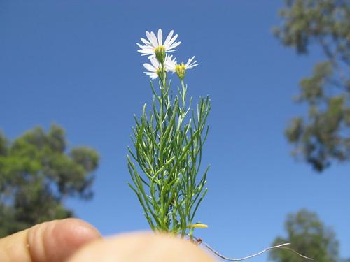 Minuria leptophylla plant1 NC
