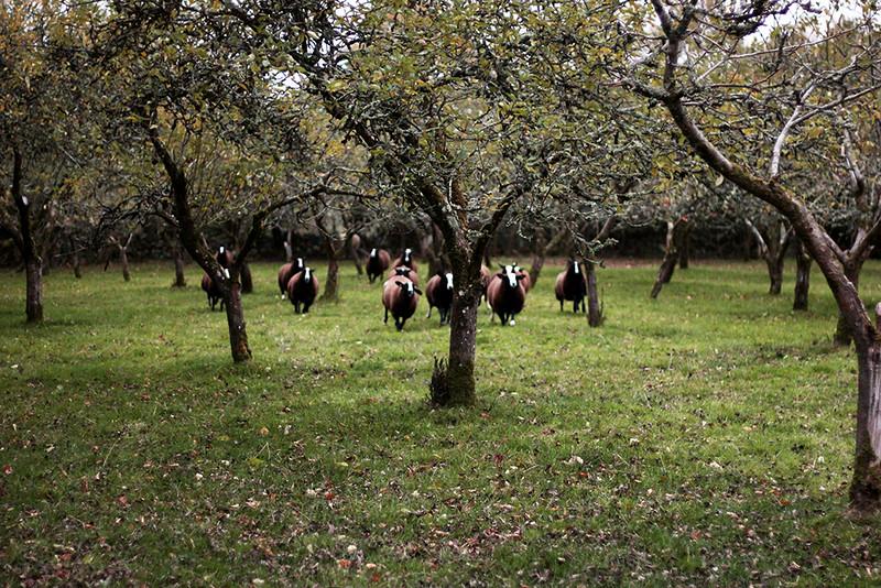 Zwartbles Farm