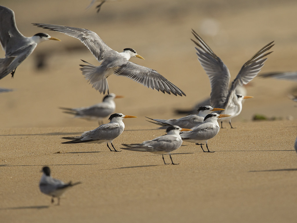 Greater and Lesser Crested Tern Sri Lanka
