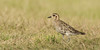 Pacific Golden Plover  (adult, non-breeding migrant) by tickspics 