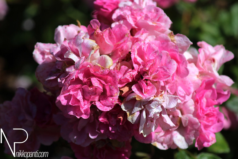 Flowers Nikko Panti Misterbaks 5