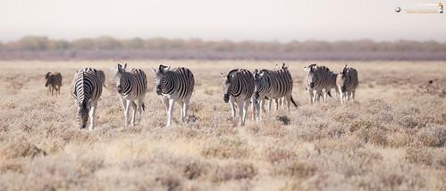 21x9 235x100 7x3 africa afrika equidae equusquagga etoshanationalpark namibia perissodactyla pferde steppenzebra säugetiere unpaarhufer vertebrata vertebrates wirbeltiere mammals oshikotoregion