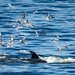 Bryde whale chased by seagulls by @RobCollins