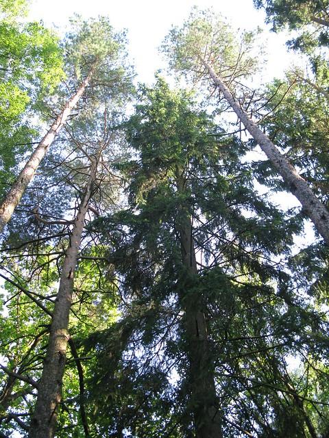 Tall trees along Bohusleden, Canon POWERSHOT G9
