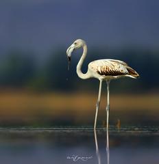 Greater Flamingo Juvenile