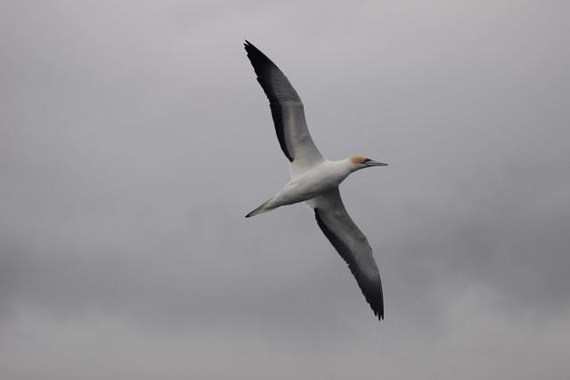 Australasian gannet at Eastern Beach