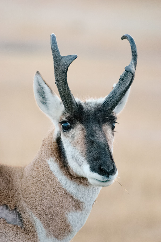 A close-up view of the face of a male pronghorn in Yellowstone National Park
