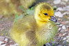 Canada Goose Gosling 15-0429-1624 by digitalmarbles