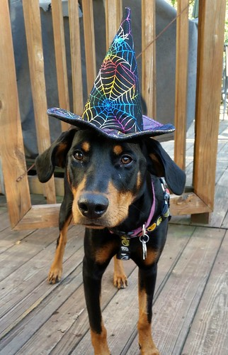 doberman witch puppy Halloween Lapdog Creations