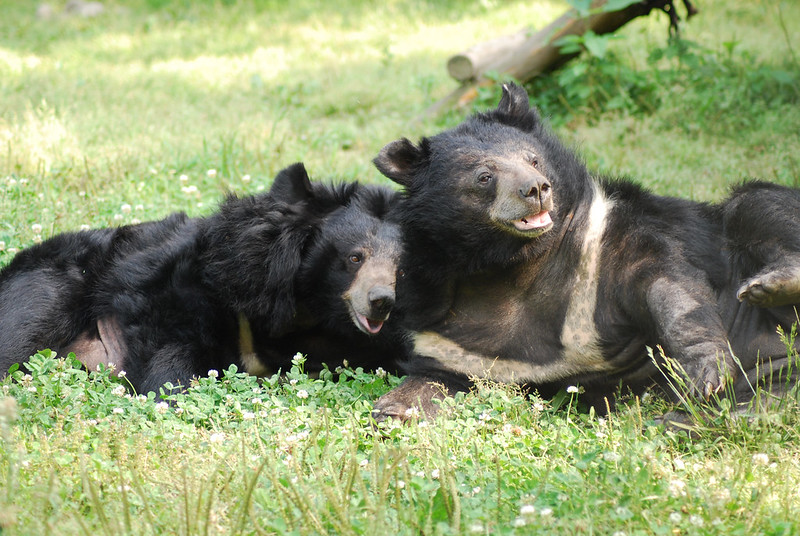 Moon bear Pippin and her best pal Brownyn at CBRC, 2012