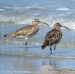 numenius_phaeopus_whimbrel_01
