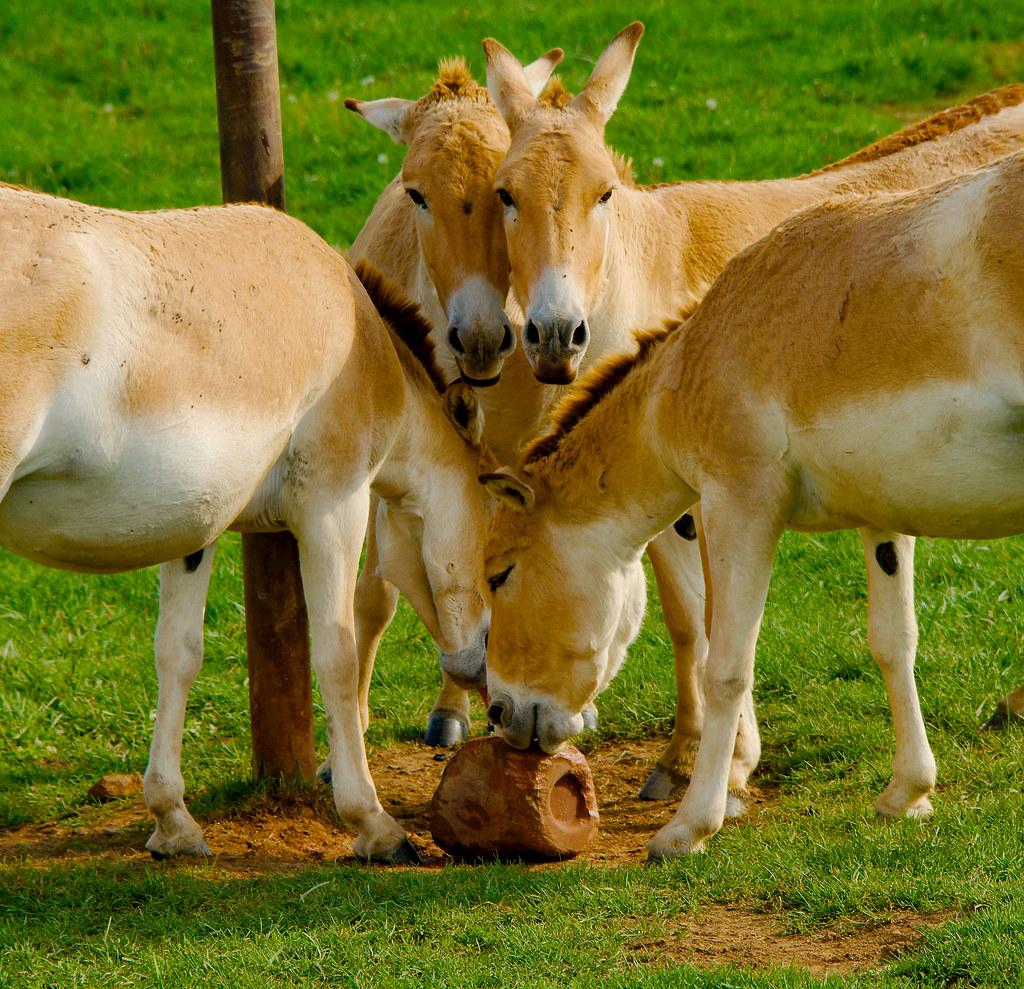 Przewalskii's Wild Horse (Equus ferus przewalskii)_78